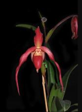 Red Slipper Orchid Phragmipedium Super Rubies Bloom Size
