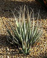 "Rare Succulent ""Agave utahensis v. eborispina"" 100 Seeds"