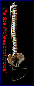 NEW Professional Life Size Human Spine Model, Flexible, Medical, Anatomical UK