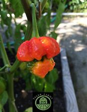 15+ 7 Pod/Pot Brain Strain Pepper seeds - (Organic hot rare, chile, chili)