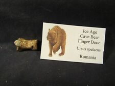 Ice Age Cave Bear Finger Bone Fossil Romania with Display Label Pleistocene Age'