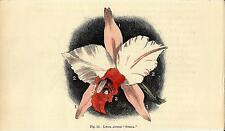 Stampa antica fiori ORCHIDEA Laelia botanica 1896 Old Print Flowers Orchid