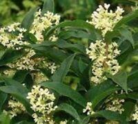 Fragrant Tea Olive ( osmanthus ) - Live Plant - 3 Inch Pot