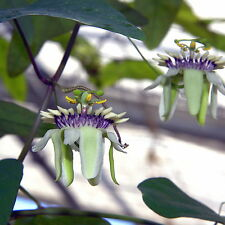 Passionflower - PASSIFLORA COLINVAUXII - 8 Seeds - Flowers