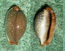 RFM 27128 Zanzibar Cypraea limacina interstincta Wood 1828 19.1mm F++/Gem Zanzib