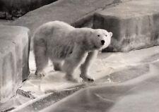 Polar Bear Life Vincennes Zoo France old Photo 1956