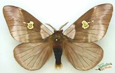 Dirphiopsis Flora A1-real Tropical Papillon de Nuit Ensemble x1 Mâle Taxidermie