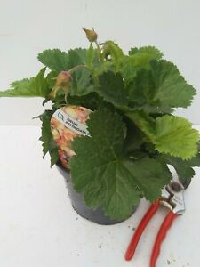 Geum 'Petticoats Peach' - good sized plant 2L pot