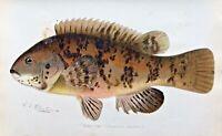 1900 RARE Antique DENTON FISH Print TAUTOG Tautoga onitis SUPERB COLOR Nice L@@K