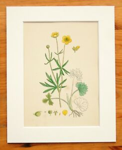 Wood Crowfoot - Sowerby - Mounted Antique Hand Coloured Botanical Print 32