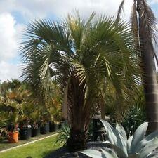 BUTIA YATAY 4 Semi Splendida palma ornamentale