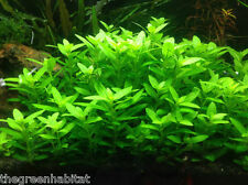 Staurogyne Repens - Live Aquarium Plants Fish Java Moss Dwarf Baby Tears ADA