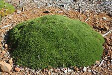 Scleranthus Biflorus-native grass-100mm pots established plants sun hardy