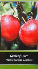 4'-5' METHLEY PLUM Fruit Tree Plant New Healthy Trees Natural Plums Home Garden