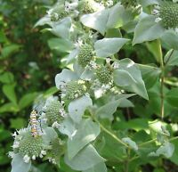 MOUNTAIN  MINT  *  1000 SEEDS * RARE * HERB * MEDICINAL * AROMA *