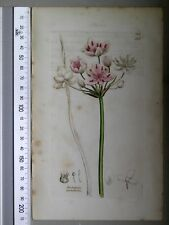 English Botany, Smith, Sowerby, handcoloured copperplate, 579, 3.Edition,1850.