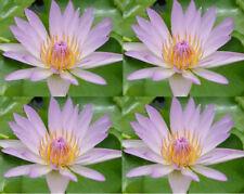 100 Seeds Light Pink bloomer Water Lily/Nympheae/Lotus