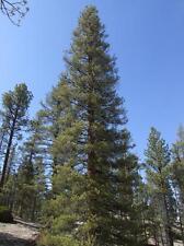 Lodgepole Pine.  200 seeds.    trees, seeds