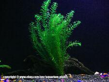 Anacharis Bunch - 5 Stems | Egeria Densa - Beginner Tropical Live Aquarium Plant