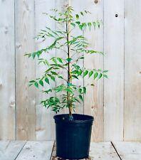 "Neem Tree 3 Gal / 10"" pot Azadirachta indica Live Plant Rare Ayurvedic"
