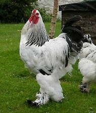 12 + Huge , beautiful  Light Brahma Hatching Eggs. Paradise Farms