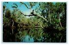 POSTCARD Tarzan Tree Tomoka River Ormond & Daytona Beach Florida FL