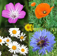 WILD FLOWER CORNFIELD MEADOW 2000 SEEDS inc cornflower poppy marigold wildflower