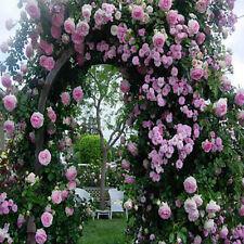 Pink Climbing Rose Seeds Flower Garden Plant Seedlings, (Buy 1 Get 1 15% Off)