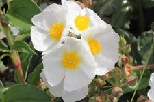 Laural Leaved RockRose (Cistus laurifolius) 100 Fresh Seeds