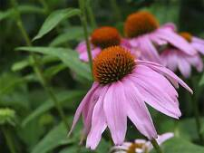 CONEFLOWER - PURPLE -  2 LIVE PLANTS! Perennial Flower - GroCo Plants USA
