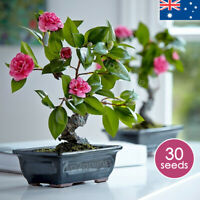 Buy Camellia Bonsai Tea Flower Plant x30 Seeds Indoor House Plants Outdoor Rare