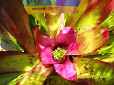 Bromeliad  Neoregelia concentrica Tropical Beauty Good sized pup