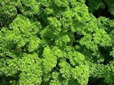 Organic Herb-Moss Curled  Parsley 50+Vegetable Seed Early variety  Non-Gmo