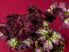 "Begonia Plant Harmony's Fire Breathing Dragon 4"" Pot Rex"