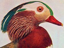 Mandarin Duck bird print lithograph - Chicago Tribune Supplement, c1902