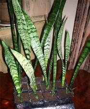 2 Snake Plants Sansevieria Mother In Law Tongue Houseplants Cactus Succulent