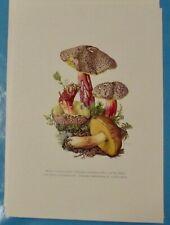 Planche poster art print Affiche Botanique Champignon Bolet Cèpe à pied Rouge