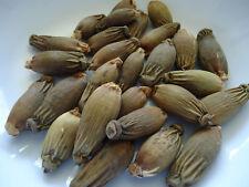 Betel nut (Taiwan Soft); Areca Catechu; 10g