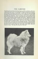 Samoyed - 1931 Vintage Dog Print - Breed Description - Matted