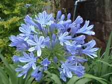1x Schmucklilie Agapanthus africanus gut bewurzelter Ableger Pflanze blüht blau
