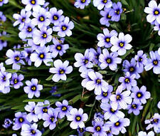 BLUE EYED GRASS Sisyrinchium Bellum - 1,500 Bulk Seeds