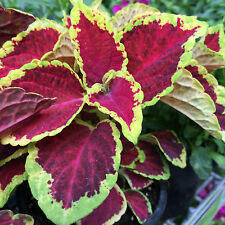 Wizard Scarlet Coleus colourful foliage indoor house plant in 100mm pot