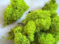 LIME APPLE GREEN Reindeer Moss Cladonia Tillandsia air plant house vivarium red