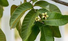 Garden Organic Guava Dried  Leaves   Antidiabetic Anti Hair Loss Tea 250 pcs