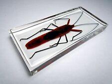 LOHITA GRANDIS MACROCHERAIA. Largidae  insect embedded in casting resin.