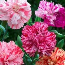 30+ Carnation Chabaud Picotee Mix / Perennial Flower Seeds / Great Gift