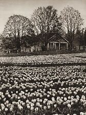 1925 Vintage CANADA ~ Bulb Farm Victoria Vancouver Tulip Landscape Photo Art