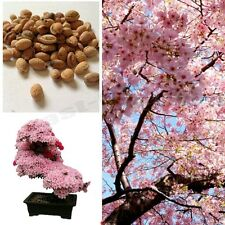 Cherry Blossom Bonsai Tree, Sakura Fower, Beautiful Pink,10 Seeds