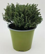 Stamm Marktfrische Qualität Baum Thymian Kräuter Pflanze Thymian Stämmchen