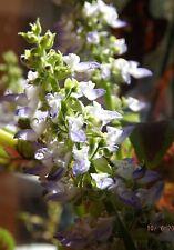 25+ Coleus Seeds, Bright Beautiful colors medicinal, herbal, and beautiful!